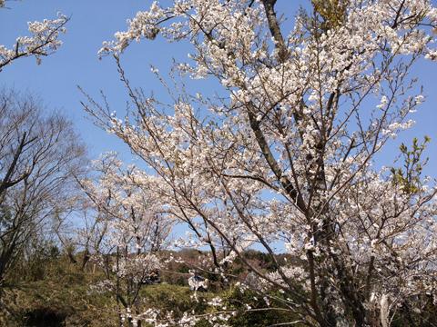 岩屋山(岩屋城跡)の桜
