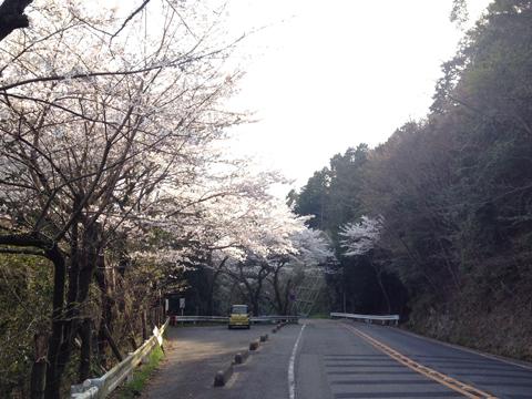 四王寺林道の桜